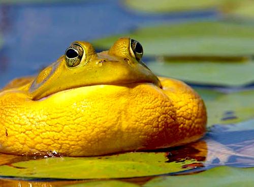 project-pic-bullfrog-chorus